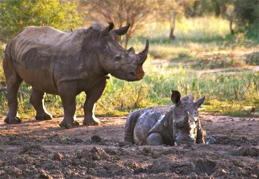 african white rhino endangered