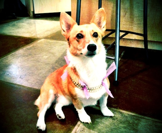 corgi wearing pearls